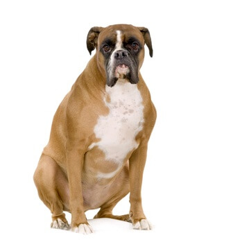 Veterinarian-Peniscola_Eurovet-Blog-Fat_Boxer