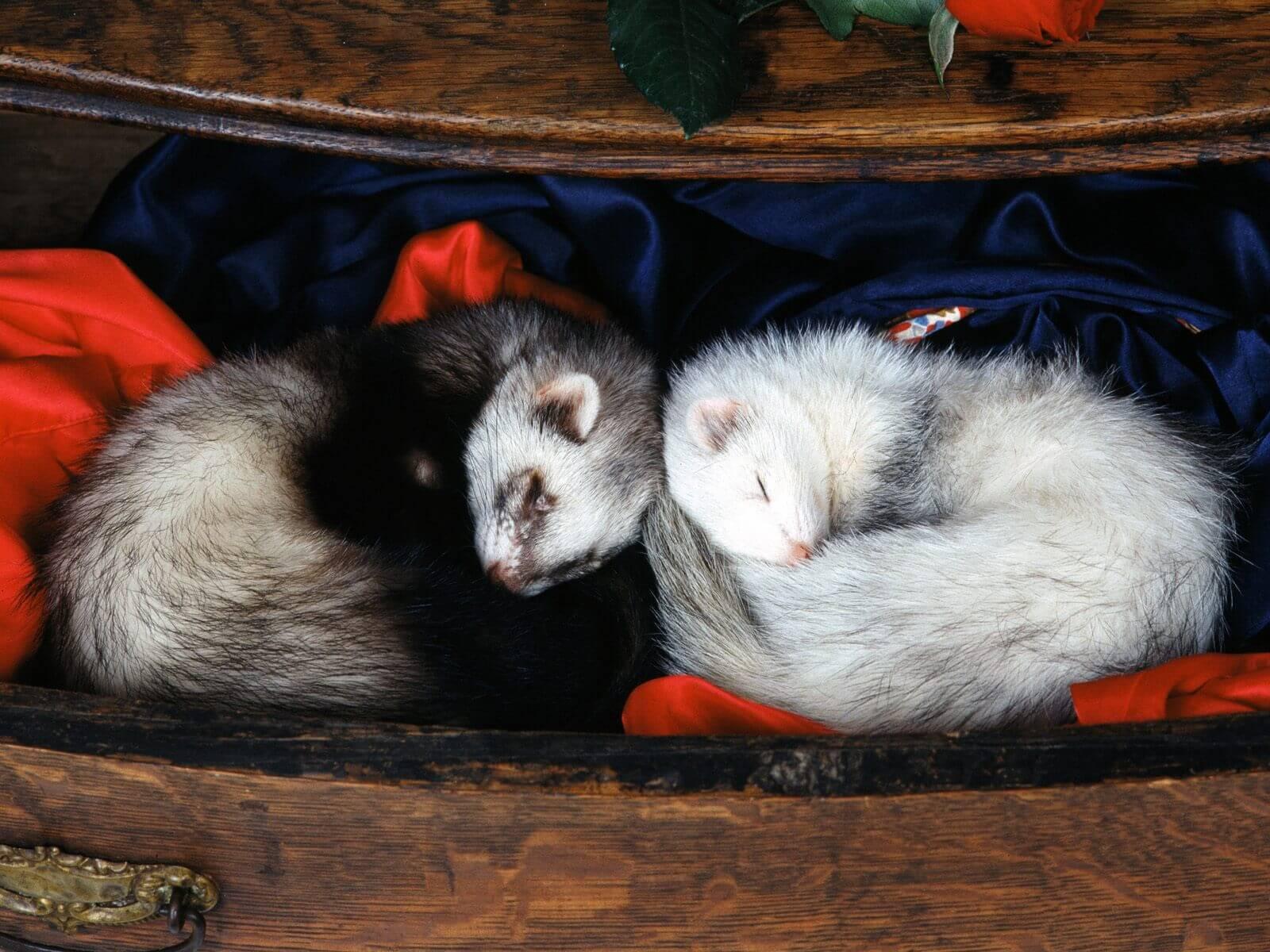 Tierarzt-Peniscola_Eurovet-Blog-Zwei_Frettchen