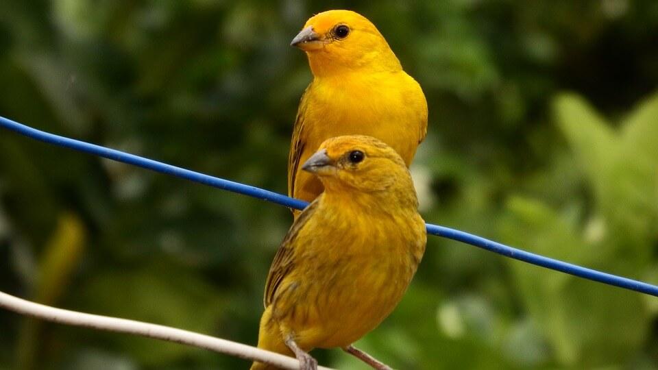 Die Exotischen Tiere, Der Kanarienvogel